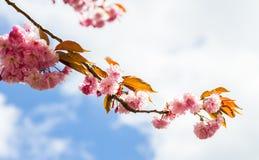 Uma árvore de cereja foto de stock royalty free