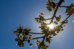 Uma árvore de cereja na luz solar imagem de stock royalty free