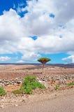 Uma árvore de Dragon Blood, Socotra, Iémen imagens de stock