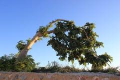 Uma árvore de figo Fotos de Stock