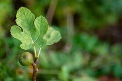 Uma árvore de figo com um figo e uma licença fotos de stock