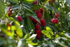 Uma árvore de Lytchee fotos de stock