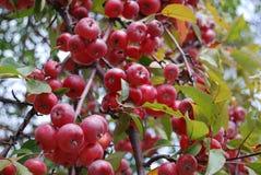 Uma árvore de maçã foto de stock