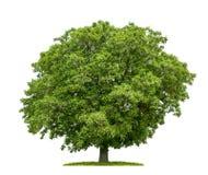 Uma árvore de noz isolada imagem de stock