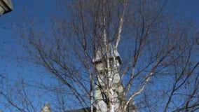Uma árvore de vidoeiro leafless e uma abóbada da igreja no fundo do céu azul video estoque