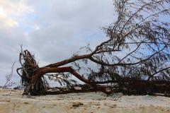 Uma árvore desarraigada por um furacão em uma ilha das Caraíbas, fotografia de stock