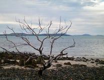 Uma árvore desencapada em uma praia seixoso Imagem de Stock