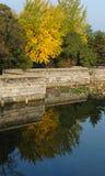 Uma árvore do Ginkgo pelo lago Fotografia de Stock