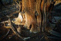 Uma árvore do zimbro no fim da tarde imagem de stock