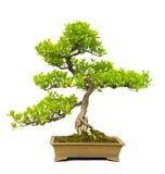 Árvore dos bonsais imagens de stock