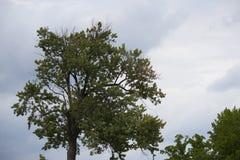 Uma árvore e as nuvens Imagem de Stock