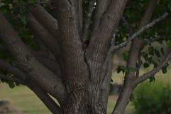 Uma árvore e todo o ele o ` s ramificam Imagens de Stock