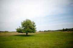 Uma árvore em um prado verde Fotos de Stock Royalty Free