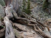 Uma árvore esforça-se para encontrar a compra em RMNP Fotos de Stock