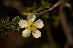 Uma Árvore-flor delicada Imagens de Stock