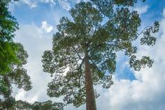 Uma árvore grande com céu Fotografia de Stock Royalty Free