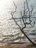 Uma árvore Leafless atrativa com seus ramos contra a luz solar de Brighr com água azul do oceano - silhueta abstrata imagem de stock royalty free