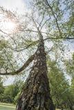 Uma árvore muito alta em um parque Foto de Stock