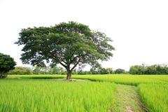 Uma árvore no campo do arroz Imagem de Stock