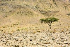 Uma árvore no deserto Fotos de Stock
