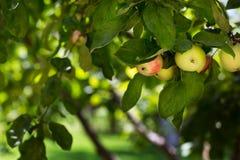 Uma árvore orgânica com as maçãs vermelhas e verdes doces e maduras no pomar A árvore de fruto bonita no fundo natural fresco Fotos de Stock Royalty Free