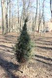Uma árvore pequena, arborvitae foto de stock royalty free