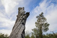 Uma árvore queimada em uma floresta imagem de stock