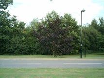 Uma árvore roxa pela borda da estrada foto de stock royalty free