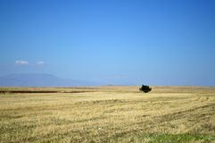 Uma árvore solitária em um campo de trigo Imagens de Stock