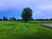 Uma árvore solitária entre os campos do arroz Imagens de Stock Royalty Free