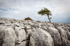 Uma árvore solitária na cicatriz de Twisleton no parque nacional dos vales de Yorkshire Imagens de Stock