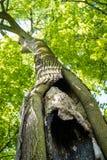 Uma árvore velha com uma cavidade e um ninho no parque imagens de stock