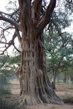 Uma árvore velha interessante Fotografia de Stock Royalty Free