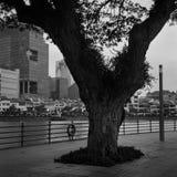 Uma árvore velha no beira-rio do tiro do rio de Singapura com filme análogo imagem de stock royalty free