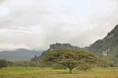 Uma árvore velha só da acácia no prado. Imagens de Stock