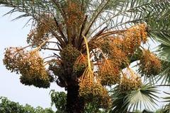 Uma árvore verde da data com fruto enorme da data foto de stock