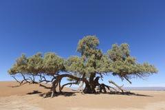 Uma única árvore do Tamarisk (articulata do Tamarix) no deserto de Sahara Fotografia de Stock