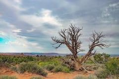 Uma única árvore na paisagem do deserto fotografia de stock