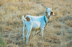 Uma única cabra Imagens de Stock
