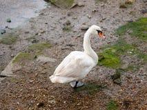 Uma única cisne muda de trás abaixo de um pé que olha a câmera fotos de stock
