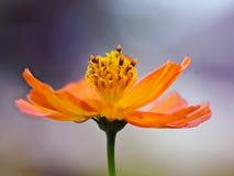 Uma única flor alaranjada no fundo do bokeh fotos de stock royalty free