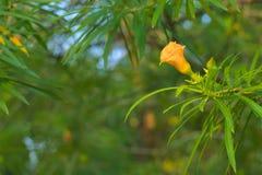 Uma única flor bonita do pêssego, coberta com as gotas da chuva de um chuveiro do amanhecer, em um parque tailandês do jardim Foto de Stock