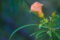 Uma única flor bonita do pêssego, coberta com as gotas da chuva de um chuveiro do amanhecer, em um parque tailandês do jardim Imagens de Stock