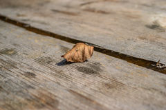 Uma única folha caída cinzenta Fotografia de Stock Royalty Free
