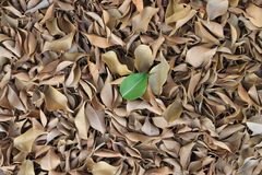 Uma única folha verde sobre as folhas secas Imagem de Stock Royalty Free
