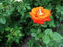 Uma única haste de uma rosa com uma grande flor surpreendente alaranjada de uma forma clássica Fotografia de Stock Royalty Free