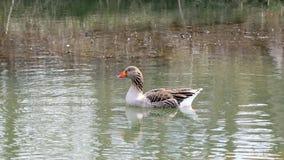 Uma única natação doméstica do ganso na água Fotos de Stock Royalty Free