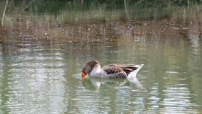 Uma única natação doméstica do ganso na água e na alimentação Fotografia de Stock Royalty Free