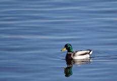 Uma única natação masculina do pato selvagem em um lago Fotografia de Stock Royalty Free