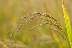 Uma única planta de arroz Foto de Stock